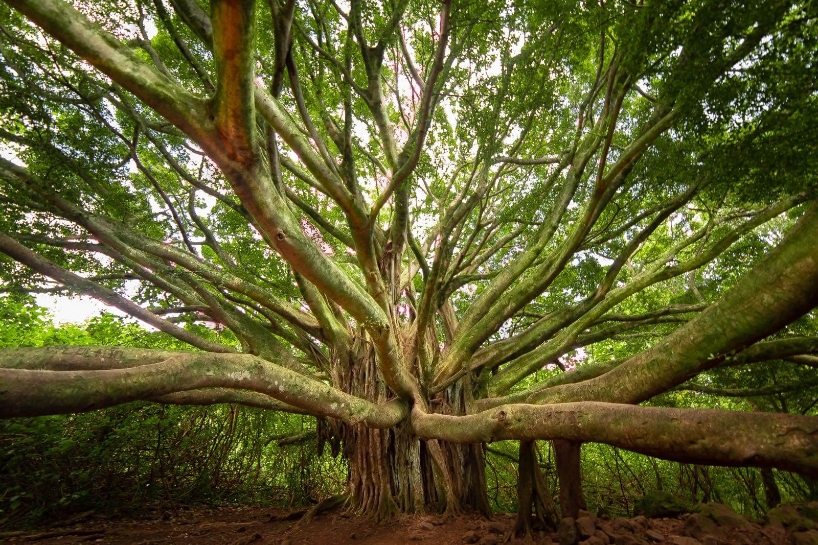 Beautiful banyan tree on the Pipiwai trail inside Haleakala National Park Maui