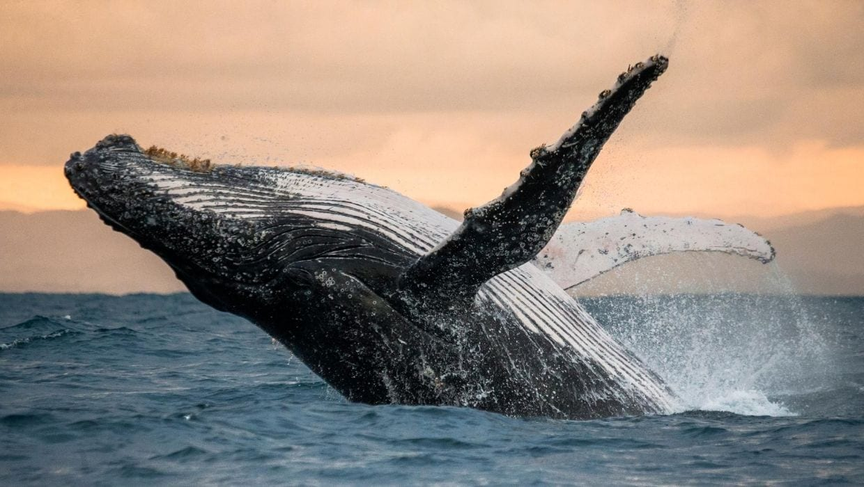 Pacific Humpback whale in the ocean in Maui