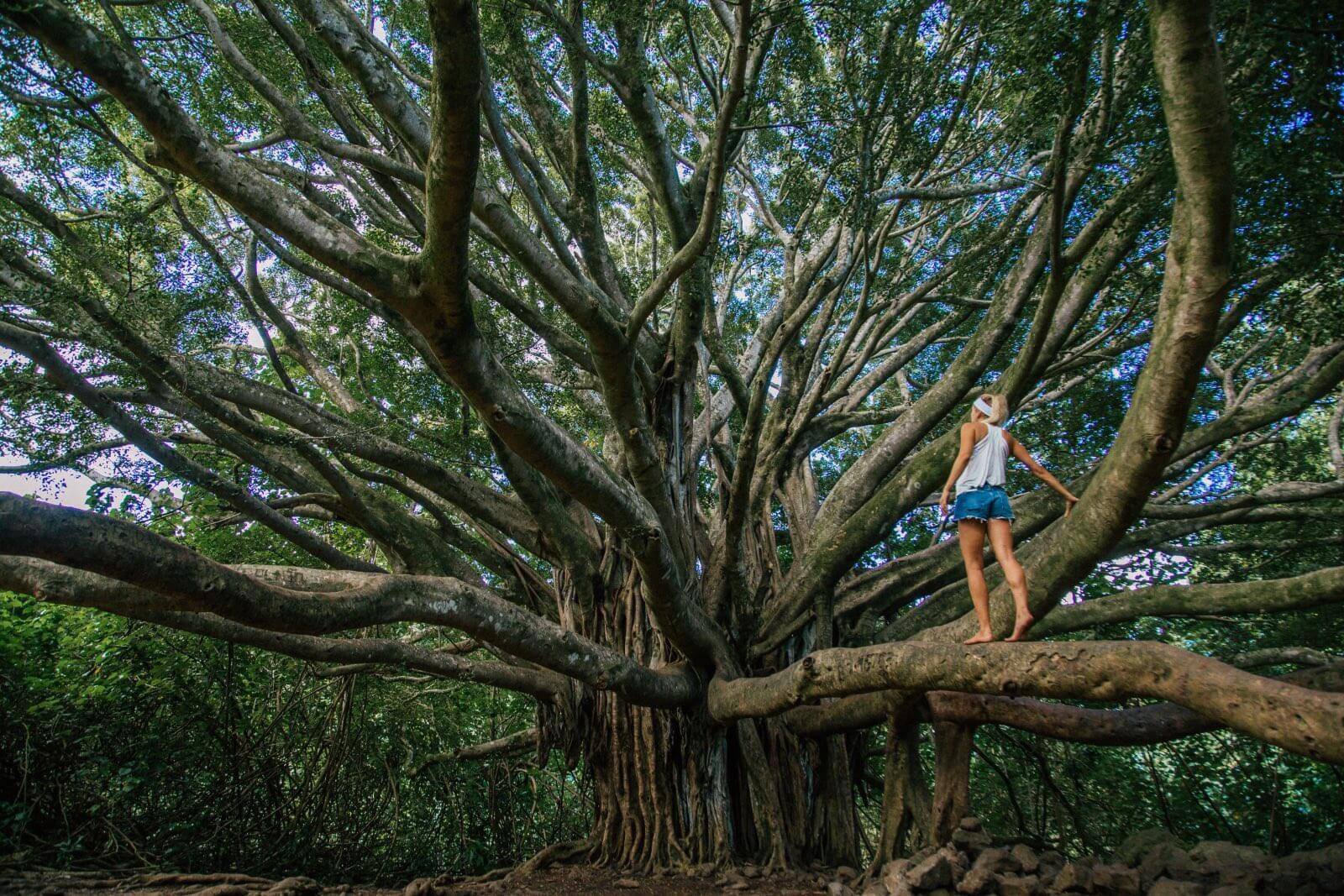 Banyan Tree on the Pipiwai Trail, one of the best hikes on Maui