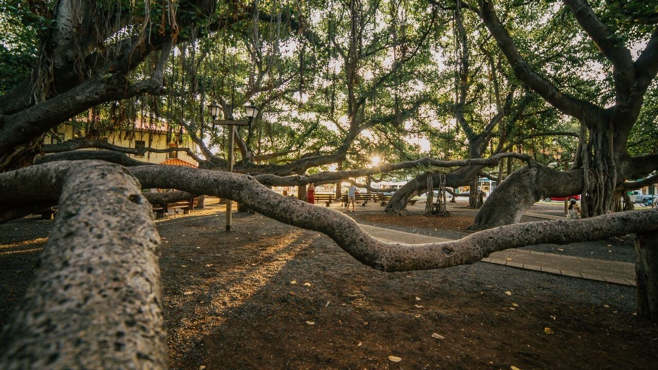 Banyan tree in Lahaina Maui a top thing to see in Lahaina